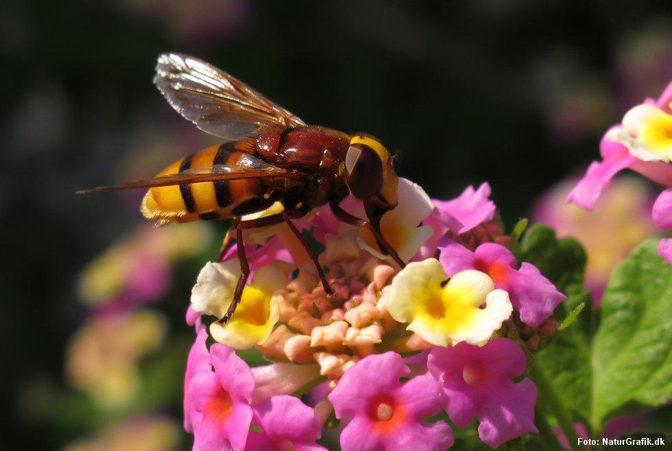 Svirrefluen volucella zonaria forveksles ofte af danske turister i Sydeuropa for at være en bi eller hveps.