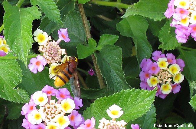 Mimicry: Den ufarlige svirreflue på fotoet beskytter sig ved at ligne en farlig hveps.