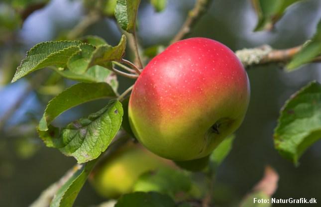 Myrer kan måske bekæmpe skadedyr i økologiske æbleplantager, hvor sprøjtegift er forbudt.
