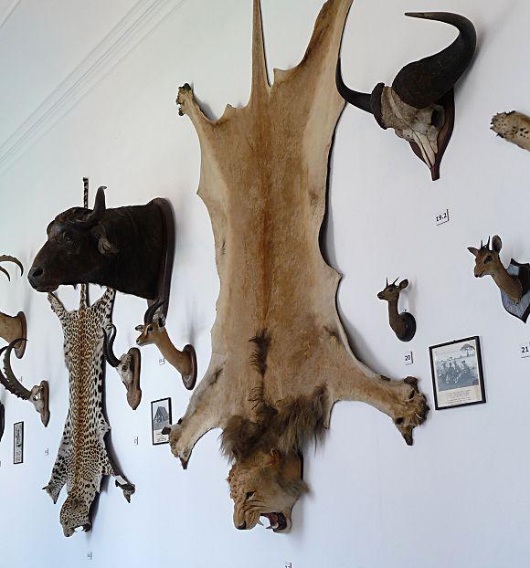 Trofæjagt er under pres. Flere afrikanske lande mener at de får for lidt del i gevinsten ved at lade vesterlændinge dyrke jagtsport på de afrikanske dyr. Foto: Jitka Erbenová , Wikimedia Commons.