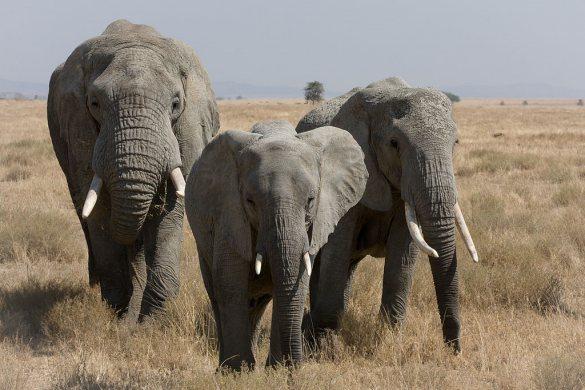 Afrikas elefanter er under pres fra krybskytter.