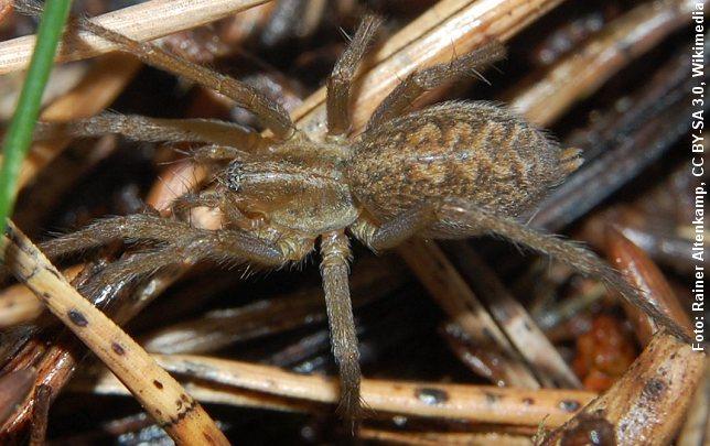 Edderkopen Tegenaria agrestis er udbredt i Mellemeuropa, men er også fundet i Danmark. Foto: Foto: Rainer Altenkamp, CC BY-SA 3.0, Wikimedia.