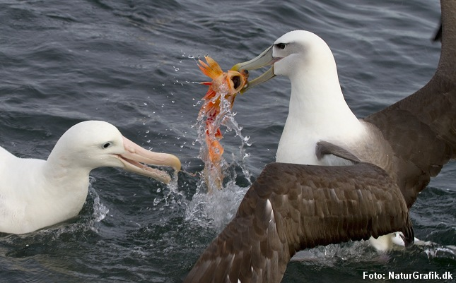 Havfugle som disse albatrosser tåler en del salt i kosten. Foto: Niels Lisborg/NaturGrafik.