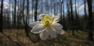 Nu blomstrer den hvide anemone