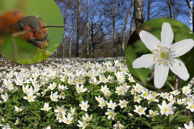 Skovmyrerne yder spredningshjælp til anemonerne, men får noget til gengæld. Foto: Niels Lisborg/NaturGrafik.