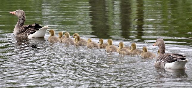 Grågæs med unger, der kaldes for gæslinger. Foto: Aiwok, Wikipedia.