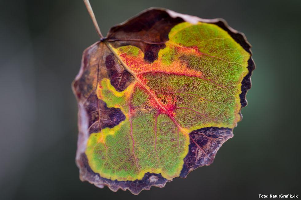 asp_leaf