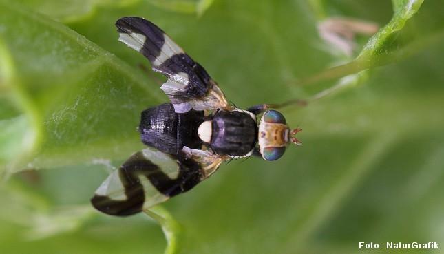 Båndflue. Båndfluer (Tephritidae) kendes bla. på deres mønstrede vinger.