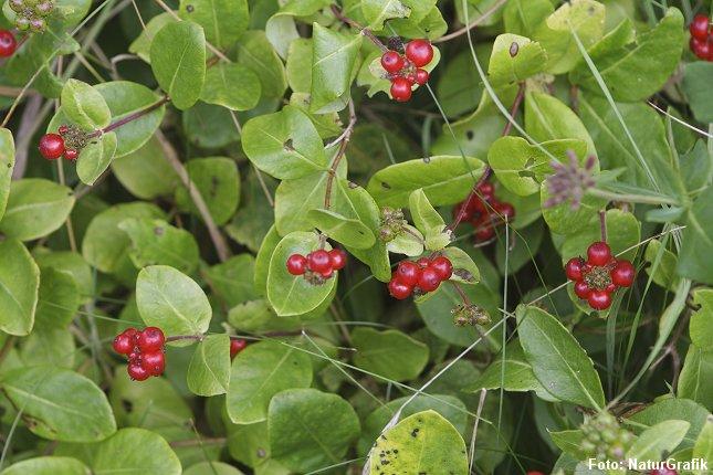 De røde bær, der er modne i august, ser fristende ud, men bærrene er giftige.