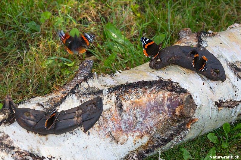 sommerfuglelokning
