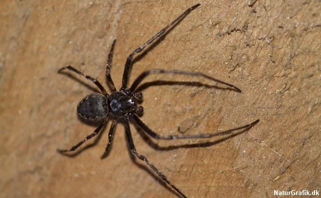 Flad hjulspinder (Nuctenea umbratica) er en af de danske edderkopper, der kan bide mærkbart.