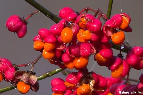 Det er ofte børn som lokkes af de smukke, orange frø og de skal ikke spise mange før det kan gå meget galt.