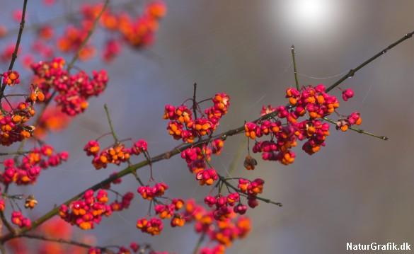 Benveds farverige frø og frøkapsler giver efteråret kulør.
