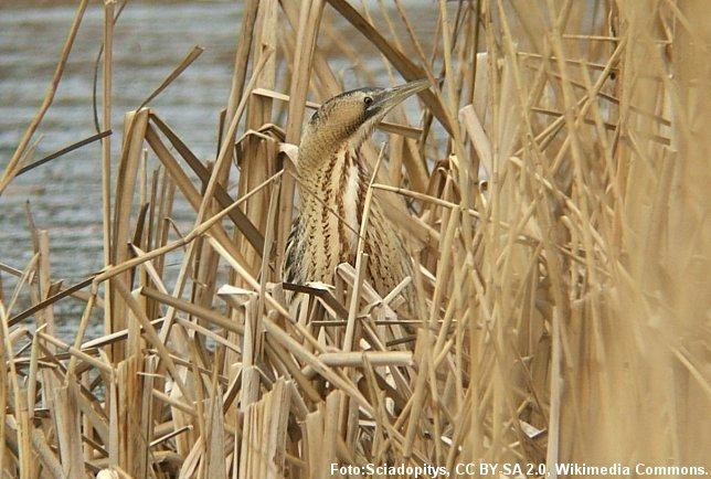 Rørdrummen er rørskovens fugl. Fuglens fjerdragt får den til at falde i et med de gule tagrør.