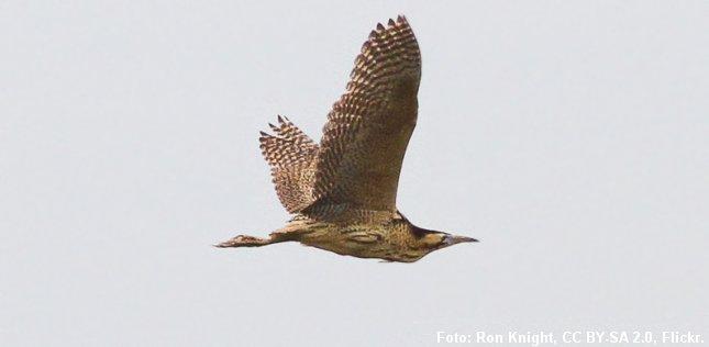 Flyvende rørdrum. Foto: Ron Knight.