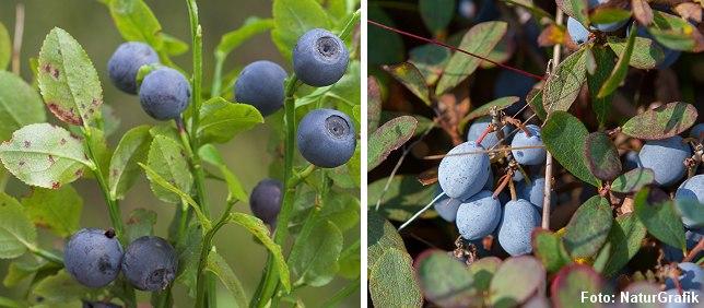 Blåbær til venstre og mosebøllebær til højre.