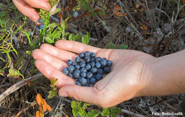Vilde blåbær smager mere intenst og har uendelige anvendelsesmuligheder.