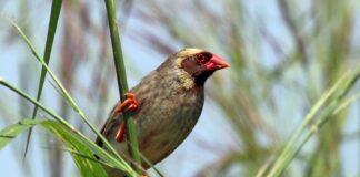 Verdens mest almindelige fugl