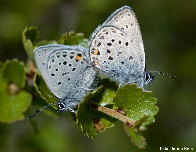 den udryddelsestruede sommerfugl bølleblåfugl hører til arter man kan finde på de sjældne naturtyper, der nu får økonomisk bistand til bevarelse. Foto: Jorma Kelo, CC, Wikipedia.