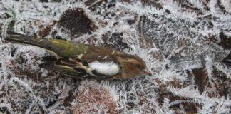 Vinteren dræber mange småfugle