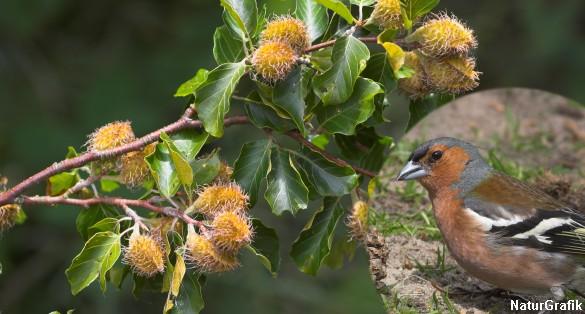 Bogfinken er opkaldt efter sin forkærlighed for bøgens frugt; bog.