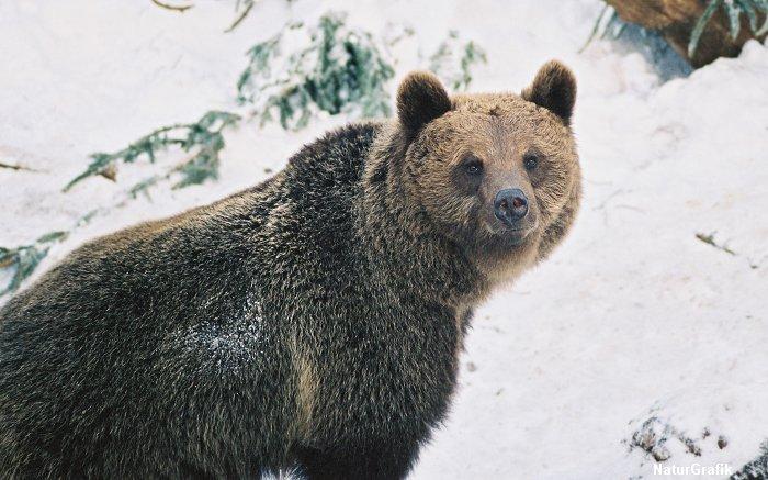 brownbear_snow