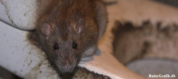 hvor stor kan en rotte blive