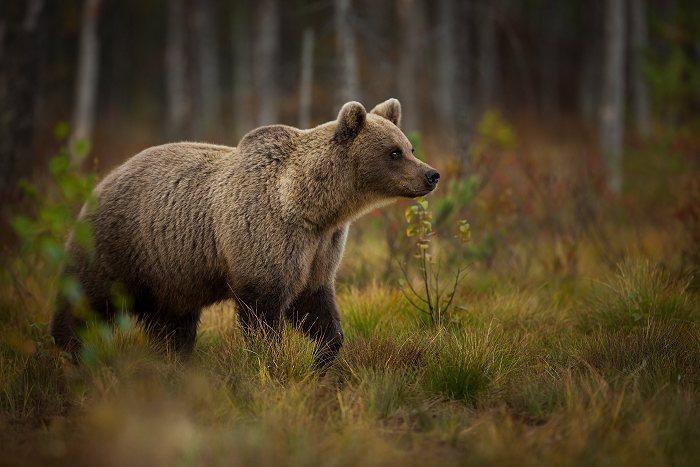 Bjørne i Danmark
