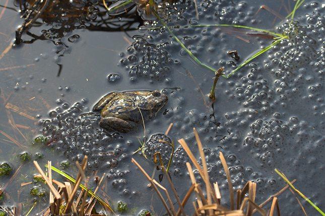 Butsnudet Frø lægger sine ægklumper i lavvandede søer, hvor træer ikke skygger for solen, der skal varme vandet og æggene.
