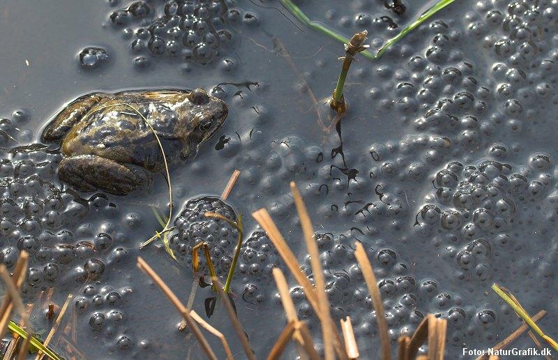 Butsnudet frø - ægklumper