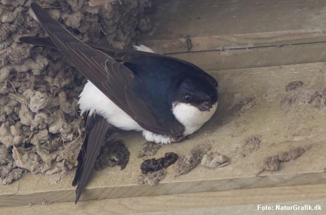 Bysvalen er sort og hvid. Den placerer gerne sin rede udvendig på bygninger under tagskægget.