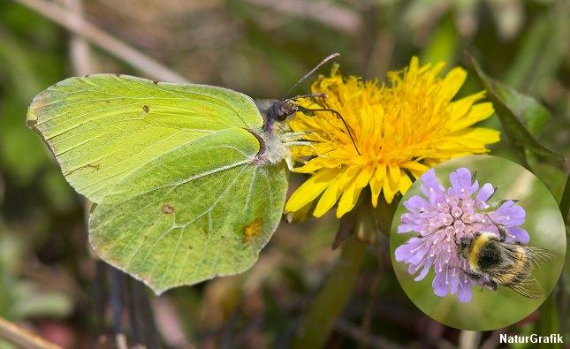 I marts dukker citronsommerfuglen op og de første humlebier summer.