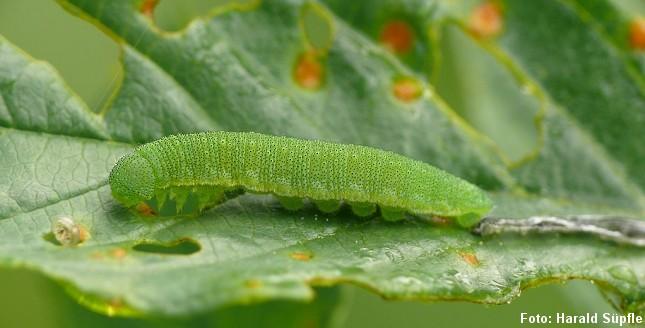 Citronsommerfuglens grønne larve lever især på det lille træ, der ofte vokser i moser. Foto: Harald Süpfle, CC BY-SA 3.0, Wikipedia.