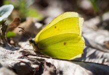Årets første sommerfugl