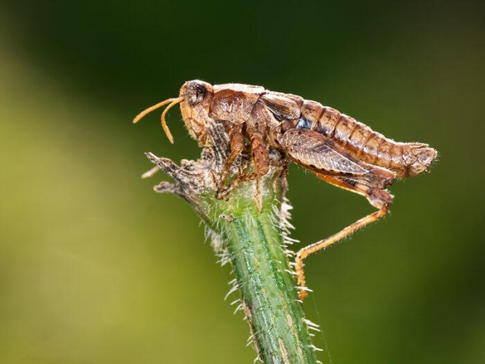 død græshoppe - dræbt af svamp