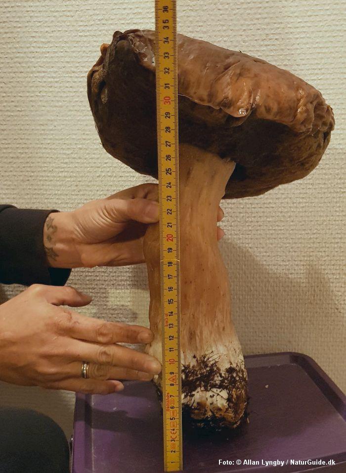 Danmarks største karl-johan-rørhat