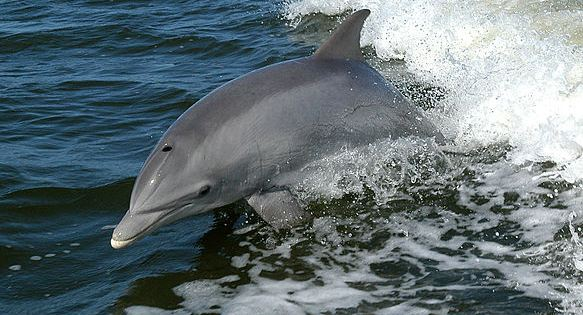 Russisk vinter-OL kritiseres for at bruge delfiner til åbningsshow. Foto: Wikipedia Commons.