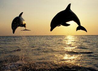 Delfiner i Limfjorden