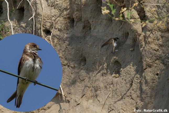 Den brune digesvale yngler i huller i skrænter.