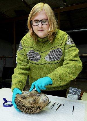 Biolog og ph.d.-studerende Sophie Lund Rasmussen er i fuld gang med at undersøge, hvordan pindsvinene har det. Foto: Tue Sørensen.