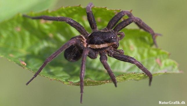 Stor Rovedderkop regnes for Danmarks største edderkop - målt i kraft og volume.