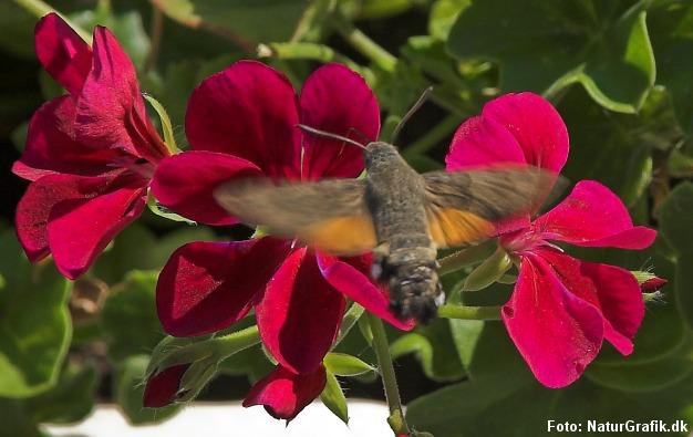 Er det en kolibri? Nej, såmænd en dagaktiv natsværmer på besøg fra syd.