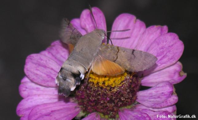 Duehalen suger nektar i havens stauder. Her en frøkenhat henunder aften.