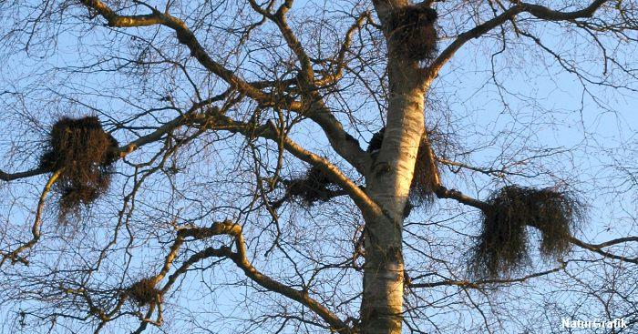 Det ligner fuglereder, men er i virkeligheden en svamp, der påvirker træet til at danne såkaldte heksekoste.