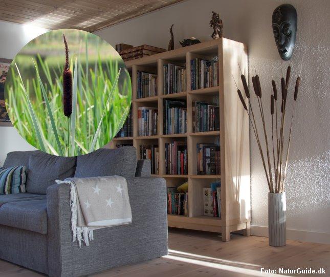 Dunhammere er dekorative i stuen. Samtidig har planten en spændende historie. Læs mere i artiklen.