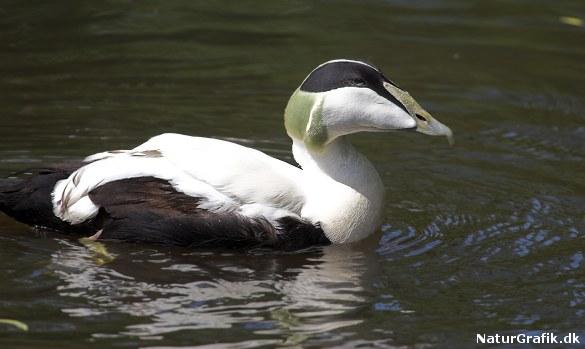Saltholm rummer et rigt fugleliv og bl.a. Nordeuropas største edderfuglekoloni.