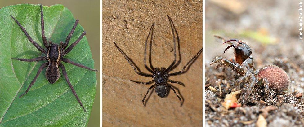 Nogle større, danske edderkopper kan bide så det kan mærkes. Det gælder bl.a. den store rovedderkop (tv), flad hjulspinder (midt) og nordlig fugleedderkop. Biddene er dog helt ufarlige.