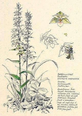 En lille naturhistorie om tætblomstret hullæbe og hvepsen af Claus Bering. Illustration fra bogen.