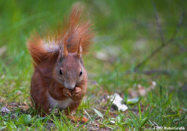 Egernet søger af og til føde på jorden, men flygter hurtigt op i træerne ved tegn på fare.