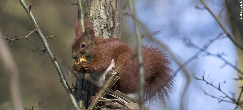 går egern i hi